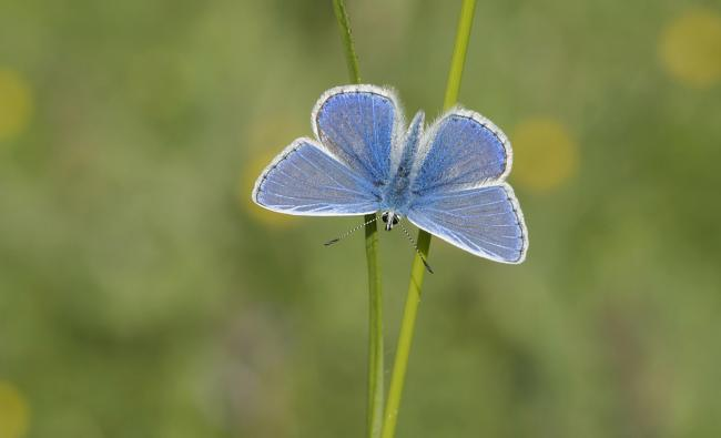 Common Blue, Bob Eade at Butterfly Conservation