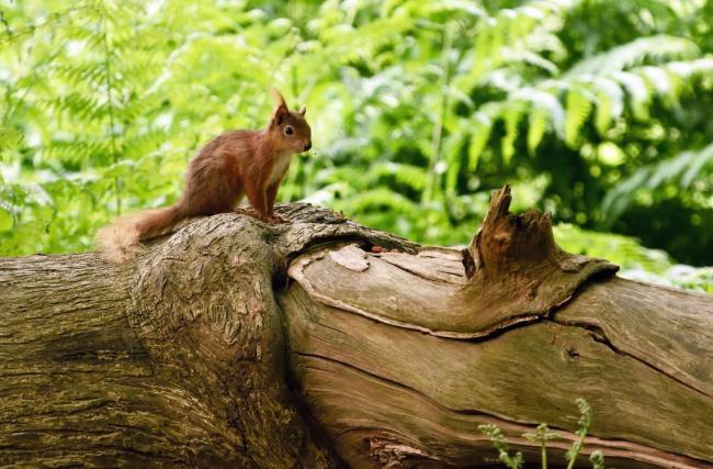 Red squirrel on Brownsea Island, picture by National Trust John Millar