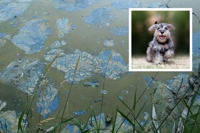 Dog owners warned over 'surge' in toxic blue green algae during warm weather
