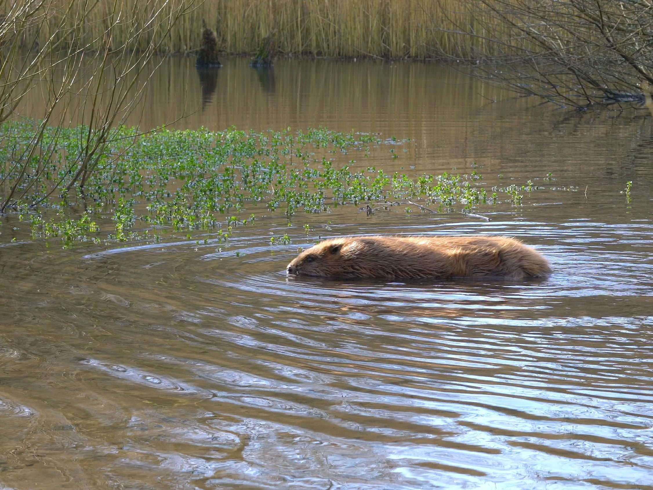 The beavers have been released at an undisclosed site. Picture: Dorset Wildlife Trust/James Burland