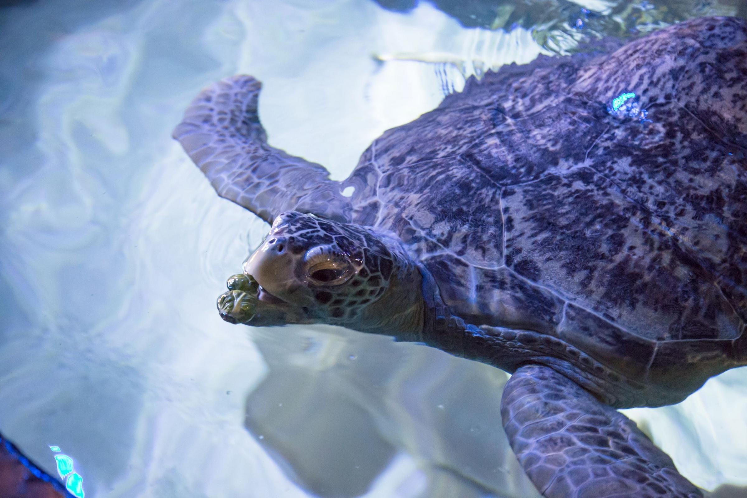 Turtle tucks in to sprouts for Christmas at Weymouth Sea Life